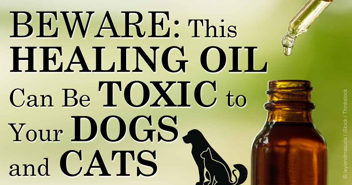 tea tree oil poisoning in pets. Black Bedroom Furniture Sets. Home Design Ideas